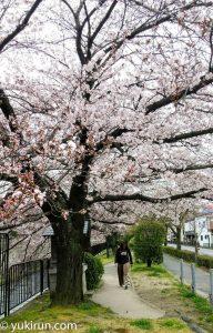 冷泉通の桜(2017年4月5日)